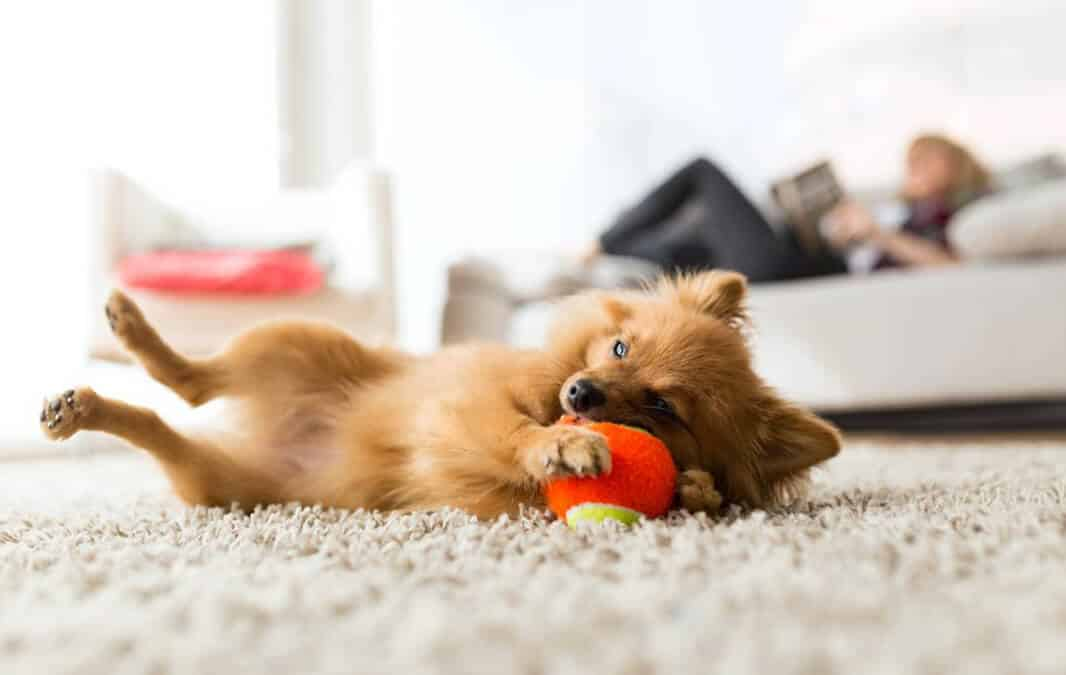 Small dog lying on carpet with red ball and couch behind it